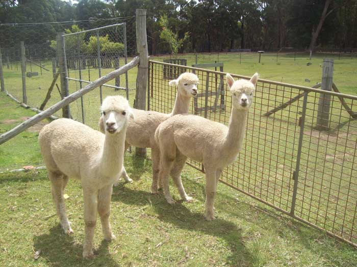 Three Wethers Package for sale